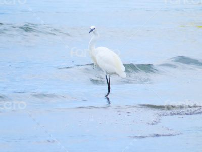 White Egrets Walking in the Water 3