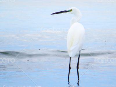 White Egret Sea Bird Closeup 6