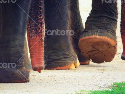 Elephant`s feet