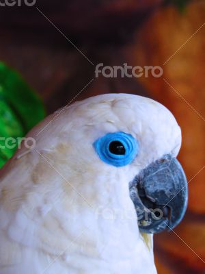 White Cacatue Parrot Closeup