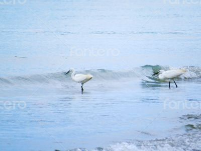 White Egrets Walking in the Water