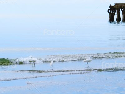 White Egrets Bathing next to the Pier