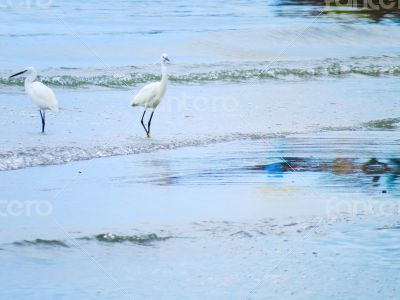 White Egrets Walking in the Water 2