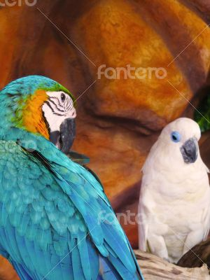Blue and Yellow Macaw with White Parrot