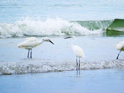White Egrets Bathing in the Sea