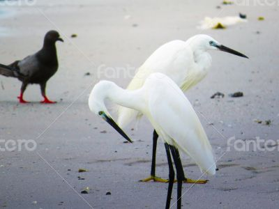 White Egrets on the Shore of a Beach