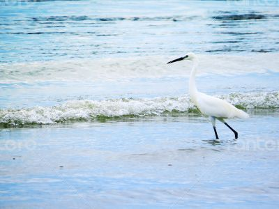 White Egret on the Shore