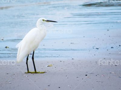 White Egret Contemplating from the Shore of a Beach