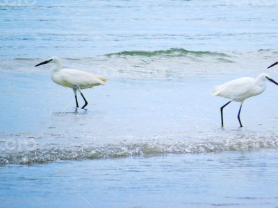 White Egrets Bathing in the Sea 2