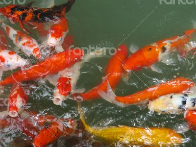Koi Fish Series 06