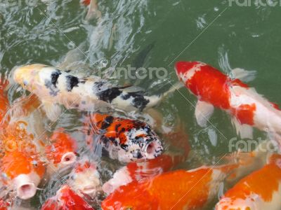Koi Fish Series 03
