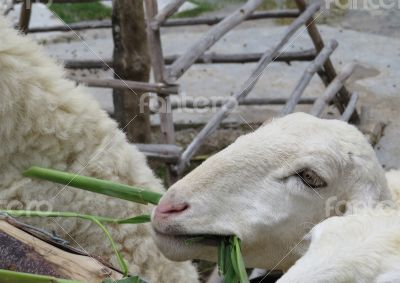 Sheep Eating bamboo