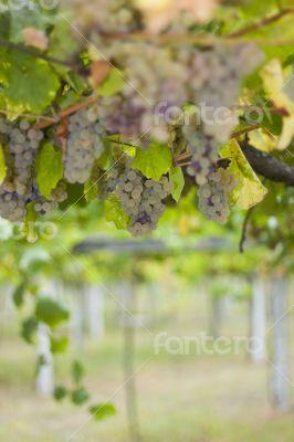 Rias Baixas vineyard