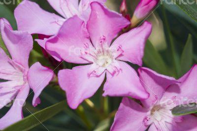 Nerium Oleander Punctatum flowers