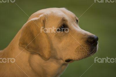 Portrait of Labrador Retriever
