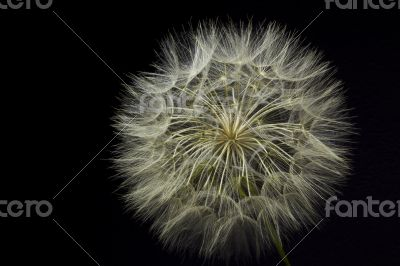Giant Dandelion on Black