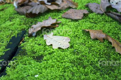 Oak leaf covered with water drops lies on the moss