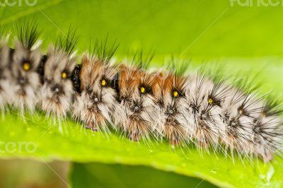 Caterpillar