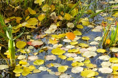 Fallen from the trees, the leaves on the surface of the water in