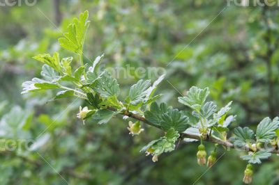 Gooseberry twig in spring