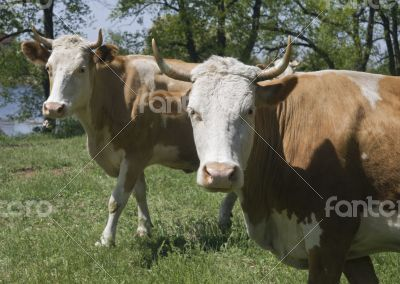 Two cows in a forest