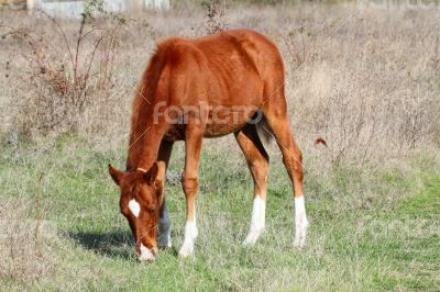 Brown horse grazing in a meadow in sunny autumn day.