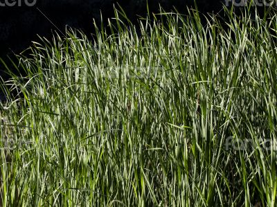Water grass in the backlight