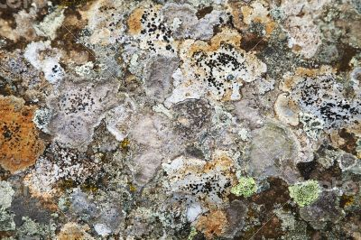 Lichen on a stone