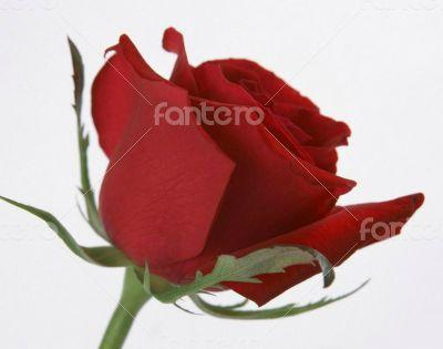 red amazing rose