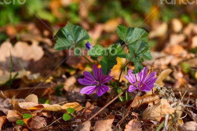 Delicate purple flower of autumn leaves.