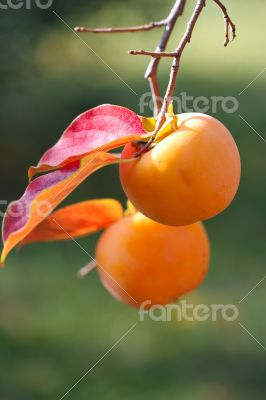 Persimmon fruit detail in vivid orange color on the tree branch