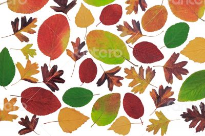 Autumn leaves with different trees on a white background.
