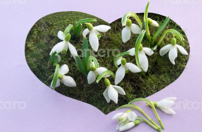 The first flowers - snowdrops on the background of green moss