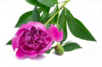 Flowers and flower buds of peonies at white background.