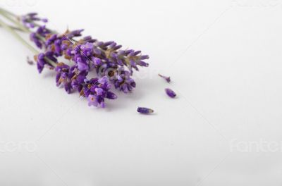 lavender flower on white background