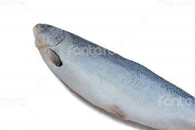 Big fish salmon on a white background.
