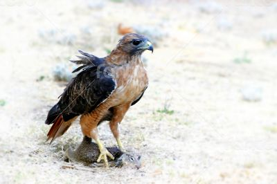 Hungry Red Teiled Hawk