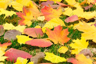 Fallen red leaves of aspen on a background of green moss on the