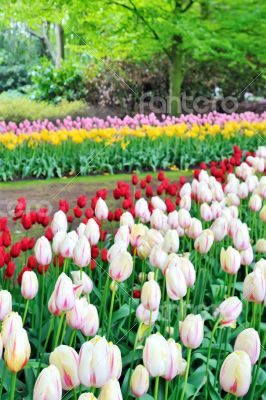 tulips field in different colors