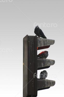 Pigeons and traffic lights