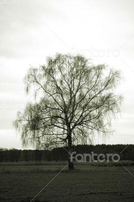 Birch in a field