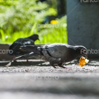 pigeon eating bread crumbs