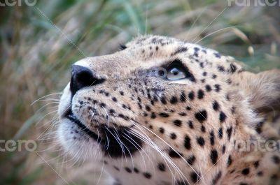 Cheetah's eyes
