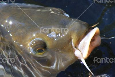 Catfish Surfacing on the Top of the Pond