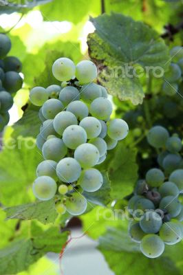 A White Grape Bunch ready for harvest