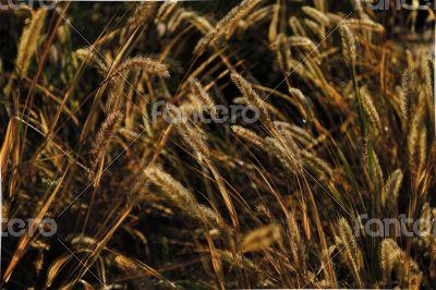 Grain in wind