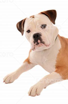 Old English Bulldog Portrait
