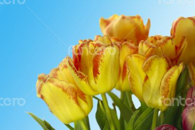 Fresh colorful tulips on blur background