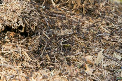 Lots of ants on the old wooden stump.