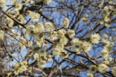 Fluffy soft willow buds in early spring.
